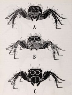 """nemfrog: """"Frontal view of adult jumping spiders. Spider Drawing, Spider Art, Spider Tattoo, Drawing Studies, Art Studies, Jumping Spider, Halloween Rocks, Creepy Art, Animal Sketches"""