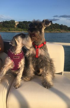 """Discover additional information on """"schnauzer puppies"""". Look at our web site. Schnauzers, Miniature Schnauzer Puppies, Schnauzer Puppy, Cute Puppies, Cute Dogs, Dogs And Puppies, Doggies, Shelter Dogs, Cutest Animals"""