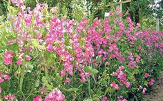 sweet peas | ... in pink: Roger Parsons's 'Chance' sweet peas Photo: ROGER PARSONS