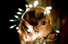 Take the ornaments she hung on my tail off first! - Funny pictures and memes of dogs doing and implying things. If you thought you couldn't possible love dogs anymore, this might prove you wrong. Christmas Puppy, Noel Christmas, Christmas Animals, Christmas Lights, Christmas Tumblr, Holiday Lights, Funny Christmas, Christmas Christmas, Christmas Ornaments