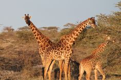 Why do giraffes not have blood pressure problems?