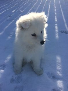 Sophia So-fluffly Samoyed puppy in the snow