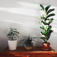 Fiddle leaf fig, nordicisland pine, and tillandsia Fiddle Leaf Fig, Pine, Planter Pots, Leaves, Pine Tree, Plant Pots