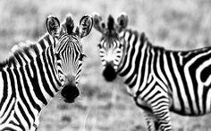 Zebra Wallpaper Cool Animals Wallpaper