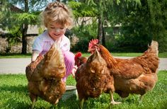 No time to build your own? Here is the top 5 Backyard Chicken Coop Kits!