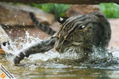 Fishing cat catching dinner. The Fishing Cat (Prionailurus viverrinus) is a medium-sized wild cat of South and Southeast Asia. The fishing cat is classified as endangered since they are concentrated primarily in wetland habitats, which are increasingly being settled, degraded and converted.  Like its closest relative, the leopard cat, the fishing cat lives along rivers, streams and mangrove swamps. It is well adapted to this habitat, being an EAGER and SKILLED SWIMMER.