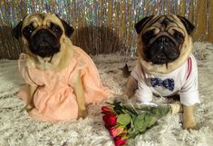 Getting ready for Valentine's Day  Step 2 - Looking stylish  ... ✔✔ Step 3 is the trickiest... finding a date  Anyone interested❓   #mauricethepug #bubble #bubblethepug #valentinesday #happyvalentinesday #date #fashionable #stylish #tirgumures #romania #pugchat #pugstory #puglife #pug #mops #dog #puppy