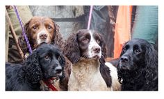 Spaniels in the trailer with their handlers.