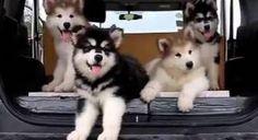 Adorable Clueless Puppies Have No Idea What Music Is | El Mundo del Cine - Mira la publicación completa en mi página de Facebook El Mundo del Cine. Peliculas fotos trailers y videos: http://www.facebook.com/pages/p/162823677109293  - Mas fotos y publicación completa en: https://cine-mundoalegre.blogspot.com/2016/09/adorable-clueless-puppies-have-no-idea.html