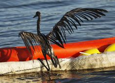 BP Oil Spill. Wildlife and marine animals are still dying, mutating from the toxins! Watch this... http://www.gofundme.com/GulfDevastationHelp