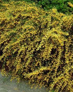 Schmalblättrige Berberitze • Berberis x stenophylla • Dotter-Berberitze • Pflanzen & Blumen • 99Roots.com