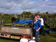 2011 Oatley Vineyard, Somerset UK Madeleine Angevine harvest