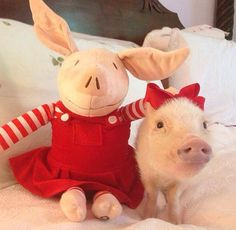 Priscilla the mini pig. Not sure my wife would put a bow on her pig.more likely a bandana. Mini Teacup Pigs, Mini Pigs, Pet Pigs, Baby Pigs, Like Animals, Baby Animals, Tout Rose, Funny Pigs, Cute Piggies