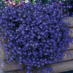 Patio   Lobelia 'Monsoon'    Amazing cascading colour, this gorgeous deep blue lobelia is a must for your patio containers and hanging baskets. Thousands of flowers will sparkle to life throughout summer.