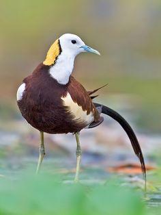 Pheasant-tailed Jacanas: IN/ SE Asia/ ID:: (c) Prasanna AV