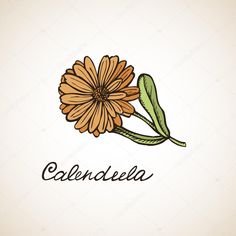 Image result for calendula drawing