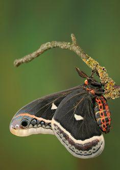 Goth Moth, Igor Siwanowicz