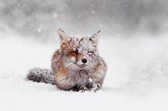 Adorable Winter Fox Photos