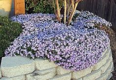 Creeping phlox. Perfect for inside the tree ring