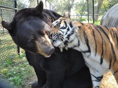 128. tigre et ours