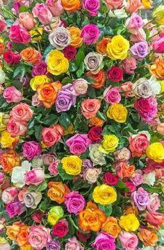 flowers, rose, and wallpaper Bild Beautiful Flowers Wallpapers, Beautiful Rose Flowers, Exotic Flowers, My Flower, Pretty Flowers, Colorful Flowers, Flower Phone Wallpaper, Flower Wallpaper, Nature Wallpaper