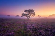 紫色の夢(オランダ)