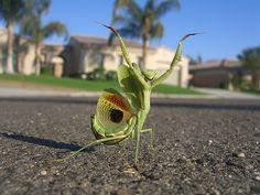 An exuberant praying mantis.