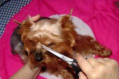 How to groom a yorkie at home? Everything you need to know about Yorkshire terrier Grooming. Grooming Yorkies, Puppy Grooming, Toy Yorkshire Terrier, Yorkshire Terrier Haircut, Yorkie Cuts, Yorkie Hairstyles, Yorky, Puppy Treats, Dog Anxiety