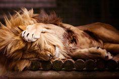 sleepy lion- well, he LOOKS sweet...when he's asleep..