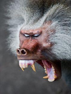 Hamadryas Baboons http://farm5.staticflickr.com/4119/4869245908_e2c8e82612_z.jpg