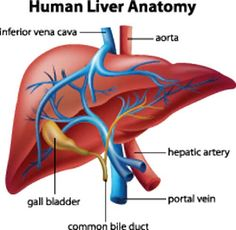 Eating for a Healthier Liver. A damaged liver can also lead to liver disease, and since the liver is a vital organ, unlike the gallbladder, liver disease can be deadly. Fortunately, the liver has the amazing ability to regenerate, so if you are willing to make some changes in your diet and lifestyle, then you can improve the condition of your liver, therefore improving your overall health.