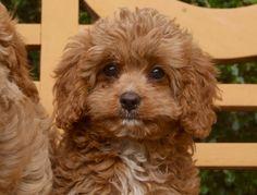Cavoodle Breeder - Designer Dog - Cavapoo Puppy For Sale Sydney - Cavalier King…