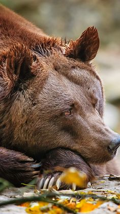 "Brown Bear sadly resting his chin, seeming too weary with life to sigh. Reminds me of a line in the first Harry Potter movie that people should remember more. Harry the wizard who can speak in reptile language asks the boa whether he was happy living in South America before being put into the zoo. The snake pointed toward its sign: ""Bred in captivity."" Sad to think of animals caged, never knowing the freedom they were created to have. -DdO:("