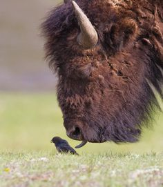 Buffalo trying to lick a little bird.