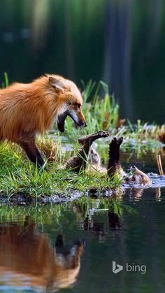 Red foxes playing. This photo is very cool.