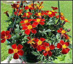 Selätön puutarhuri: Taimien aikaa, Seedlings  - Marigold `Disco Red`