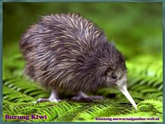 🐦🌳🥝 Have you ever seen our iconic and cute national Kiwi Bird? Flightless and gorgeous these little birds have become the iconic symbol of New Zealand! Pretty Birds, Beautiful Birds, Animals Beautiful, Baby Kiwi, Animals And Pets, Cute Animals, Funny Animals, Kiwi Bird, Flightless Bird