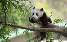 Download wallpapers panda, tree, forest, wild nature, China, bamboo bear, mammals, bears, cute animals
