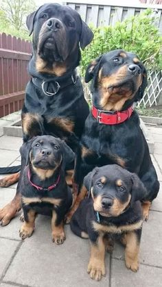 Happy Rottweiler family