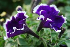 common garden flowers | Common Garden Petunia flower pictures | Trees and Flowers Pictures