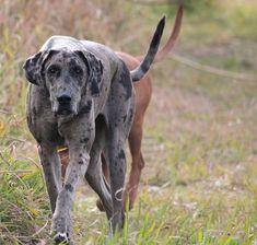 Park, Dog, Great Dane, Big, Stealth, Walk #park, #dog, #greatdane, #big, #stealth, #walk
