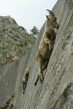 These mountain goats are very skilled at climbing to find plants they consider delicacies, with their hooves they place them in a crack to hold on & are pretty resilient if they should slip. Amazing.