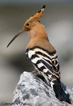 ~ Poupa Hoopoe ~ by Faisca The Hoopoe is somewhat smaller in size than a pigeon, and has pale, yellow-brown feathers. The tail is touched with black and white, and it also has a large crest of black and white on the top of its head.  They are primarily ground feeders and use their long, slender and slightly curved bills to probe for large insects, worms, and lizards.
