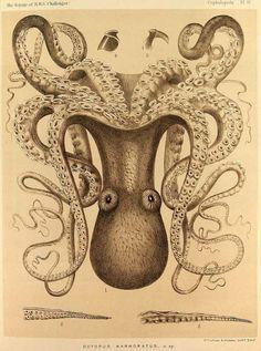 octupus - Ernst Haeckel