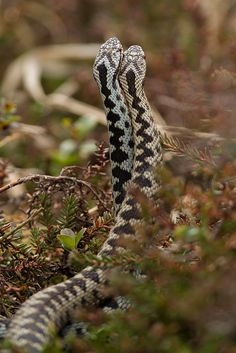 Vipera berus Dancing Adders żmija zygzakowata Reptiles Names, Reptiles And Amphibians, Animals Of The World, Animals And Pets, Adder Snake, Reticulated Python, All About Snakes, Poisonous Snakes, Cool Snakes
