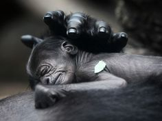 A baby gorilla born on 10 July at Frankfurt zoo sleeps on the chest of its mother, Rebecca. The newborn has not yet been named  Fredrik Von Erichsen