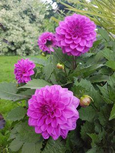 Knipe toppskuddene for bedre forgrening og tettere planter. Dahlia, Slik, Planters, Flower, Dahlias, Planter Boxes, Plant, Flower Pots, Flowers