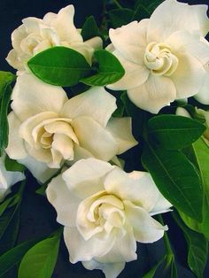 gardenias are so delicious! i want to place a petal in my nose to smell it's fragrance all day long!