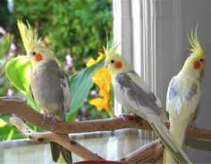 Among several other types of parrots, well liked and famous as domestic pets, are the cockatiel parrots. These are native Australian birds . All Birds, Cute Birds, Pretty Birds, Beautiful Birds, Cockatiel Care, Australian Parrots, Vida Animal, Puffins Bird, Information About Birds