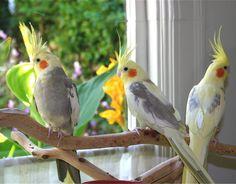 cockatiels birds - Bing Images